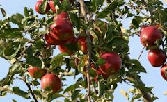Elbe Obst aus dem alten Land Äpfel